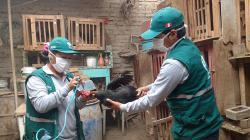 Senasa vacunará este año a más de 154.000 aves en Arequipa contra el Newcastle