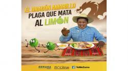 Senasa y ProCitrus impulsan campaña para prevenir plaga del dragón amarillo