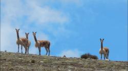 Serfor propone crear mesa de control y vigilancia contra la caza furtiva de vicuñas