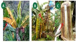 Si ingresa hongo Fusarium R4T a Perú podría ser el fin del cultivo de banano