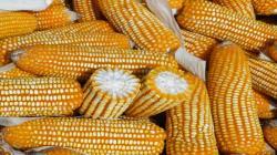 Solo el 30% de la demanda de maíz amarillo duro por parte de Perú es cubierto por la producción nacional