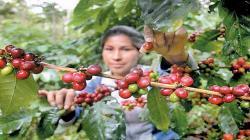 Solo el 5% de las unidades productivas de café en nuestro país se dedican a variedades especiales