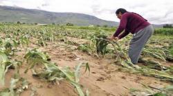 Solo un 1.4% de los productores agropecuarios fueron beneficiados por seguros agrícolas