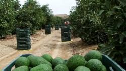 Superficie de palta en Perú se amplía por el norte