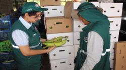 Ucayali inicia exportación de plátano bellaco a Chile