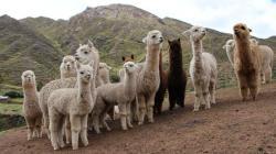 Una vacuna contra el Covid-19 diseñada en Perú comienza a probarse en alpacas