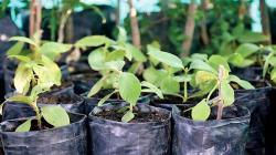 UNI preservará árbol de la quina