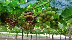 Uva y mango fresco entre los cinco principales productos peruanos exportados a Estados Unidos en el primer cuatrimestre del año