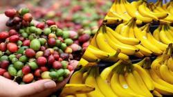 Variedades extranjeras de banano y café resistentes a plagas son introducidas al Perú