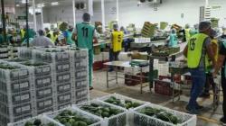 Verdeflor brindará servicio de maquila para uva de mesa