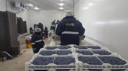 Verdeflor evalúa incursionar en cultivos de arándanos