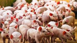 Virus detectado en cerdos de China no pone en riesgo producción porcina del Perú