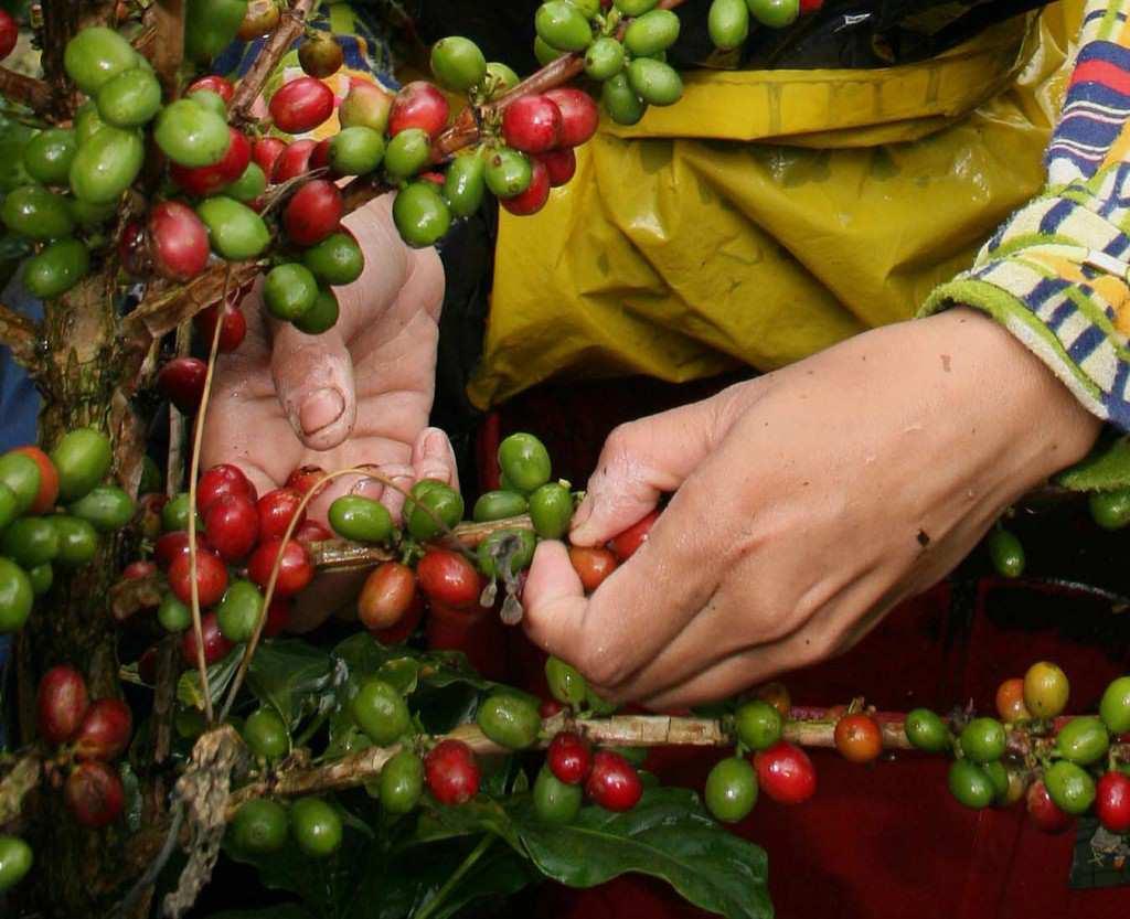 COSECHA CAFETERA COLOMBIANA CRECE POR PROGRAMAS DE RENOVACIÓN