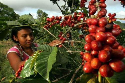PRODUCCIÓN DE CAFÉ DISMINUYÓ 37% EN LOS ÚLTIMOS CUATRO AÑOS