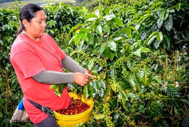 AMAZONAS: ENVÍOS DE CAFÉ ORGÁNICO SUMARON 7.141 TM