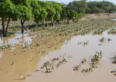 SEGURO AGRARIO CATASTRÓFICO CUBRIRÁ 600 MIL HAS AFECTADAS POR EL NIÑO