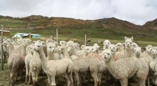 MINAGRI INVIERTE S/. 94 MILLONES PARA APOYAR A LOS CRIADORES DE ALPACAS