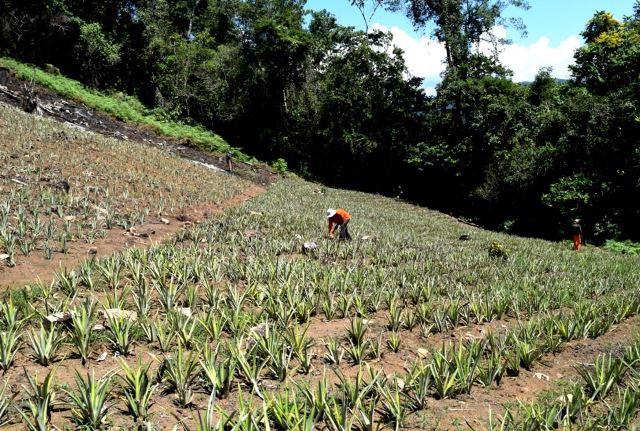 INSTALAN MÁS DE 500,000 HIJUELOS DE PIÑA EN PARCELAS DE HOJA DE COCA EN EL VRAEM
