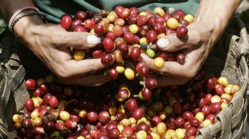 EXPORTACIONES DE CAFÉ CERRARÍAN EN US$ 580 MILLONES