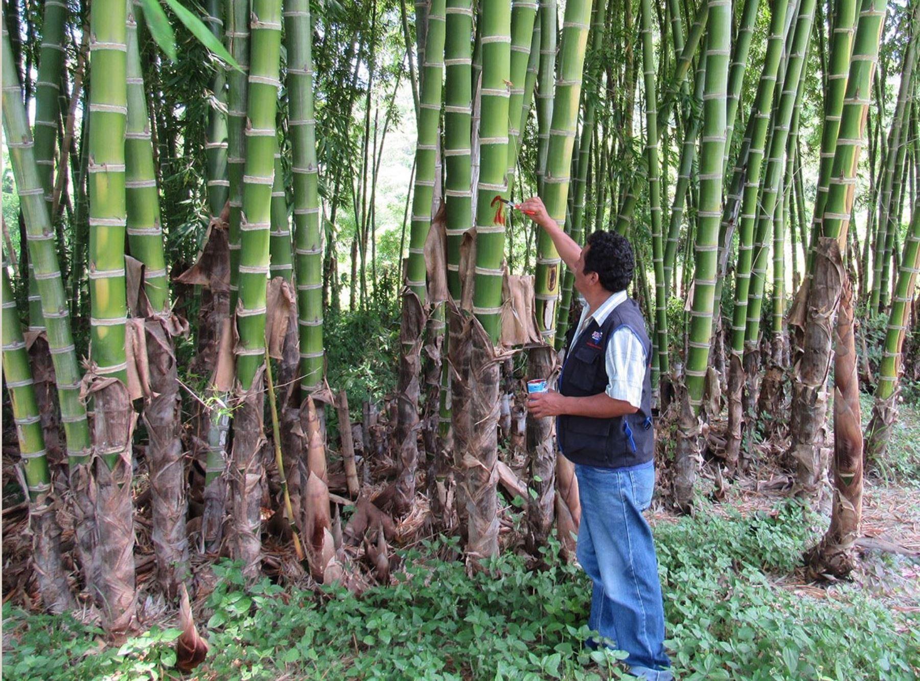 PIURA: COMUNIDADES CAMPESINAS APUESTAN POR PLANTACIONES DE CAÑA DE GUAYAQUIL