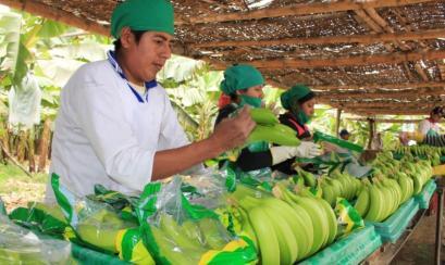 PIURA: BANANO ORGÁNICO GENERA US$ 120 MILLONES EN EXPORTACIONES