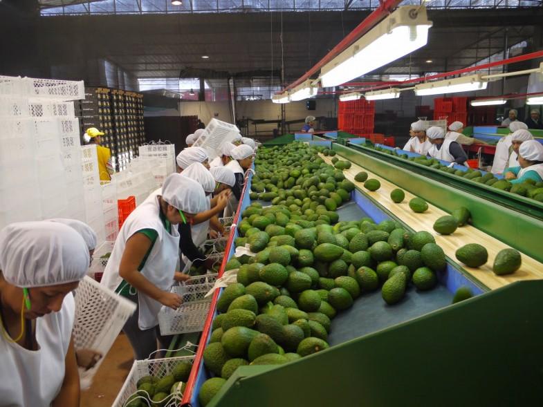 CHINA TIENE POTENCIAL PARA CONVERTIRSE EN UN ENORME MERCADO PARA EL AGUACATE