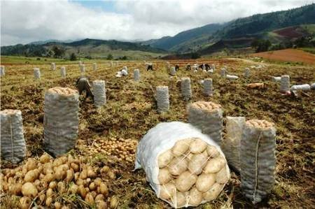 EL 20 POR CIENTO DE LA PRODUCCIÓN DE PAPA DE AREQUIPA SE COMERCIALIZA EN BOLIVIA