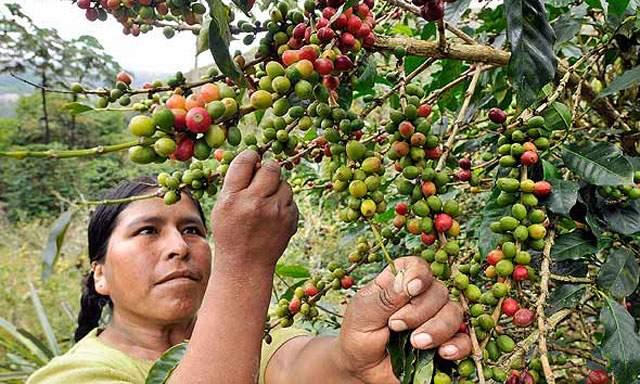 PÉRDIDAS POR BAJOS PRECIOS DEL CAFÉ ASCENDERÍAN A S/ 800 MILLONES EN COSECHA 2016