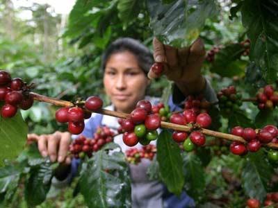 TRANSFIEREN AL MINAGRI S/ 36.7 MILLONES PARA ATENDER CULTIVOS DE CAFÉ