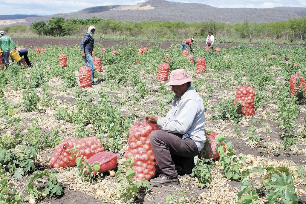 Arequipa es nuevamente el primer productor de cebolla del país