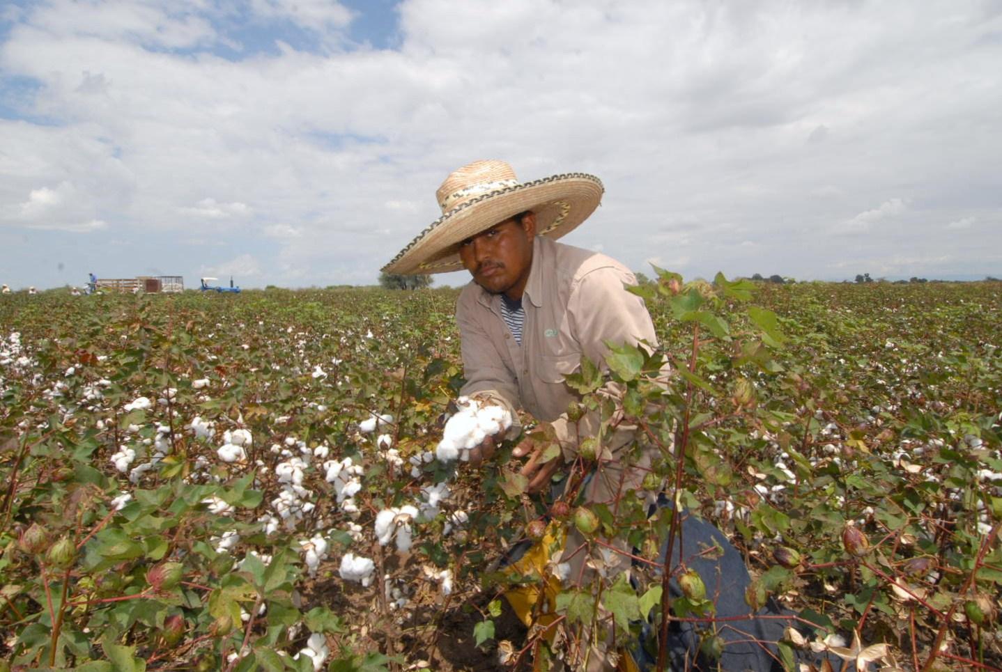 Analizarán situación actual del algodón con fines de bioseguridad