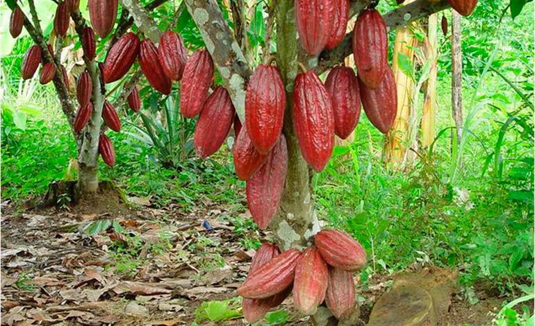 En los próximos cinco años entrarán en producción 50 mil hectáreas de cacao