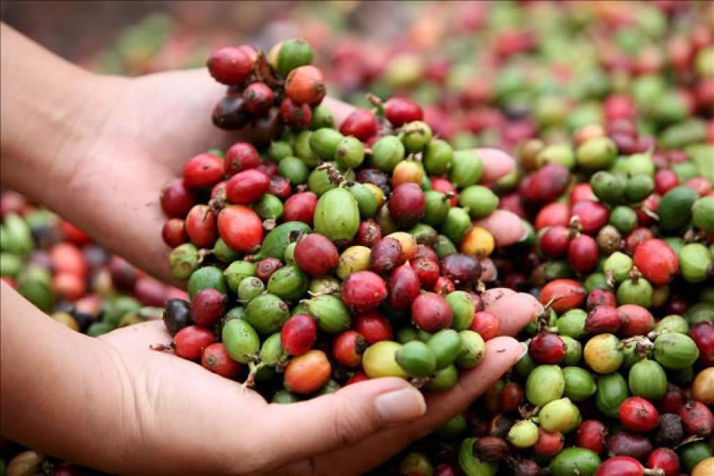Envíos de café crecieron en valor 38% en los primeros ocho meses del año