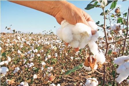 Postergarían 15 días el inicio de la campaña de algodón en Lambayeque