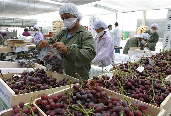 Exportación de uvas alcanzaría los US$ 700 millones en 2016/2017