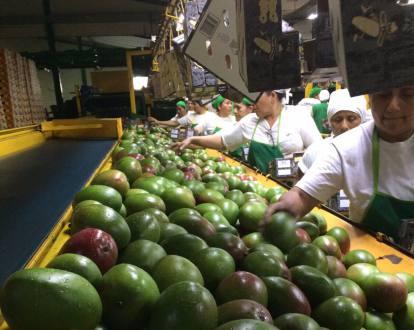 Después de 13 años de negociaciones, Ecuador logra iniciar sus exportaciones de mangos a China