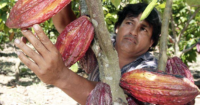 Instalarán más cultivos de cacao orgánico en Madre de Dios