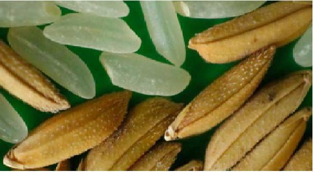 Liberarán nueva variedad de arroz INIA 513 – La Puntilla