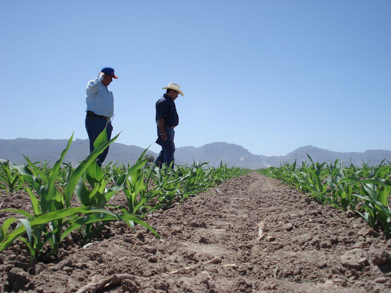 Campaña agrícola en Lambayeque presenta retraso por ausencia de lluvias