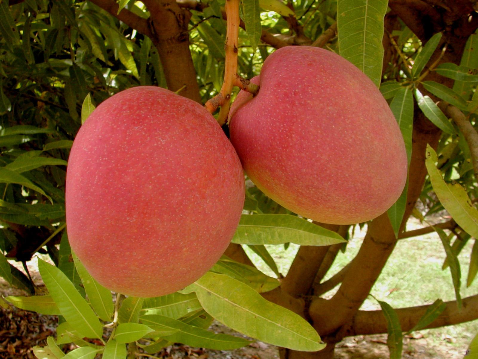 Crisis hídrica podría acabar con el 15% del mango piurano