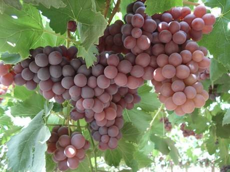 La Libertad: uva de mesa de Cascas se venderá en Tottus en enero de 2017