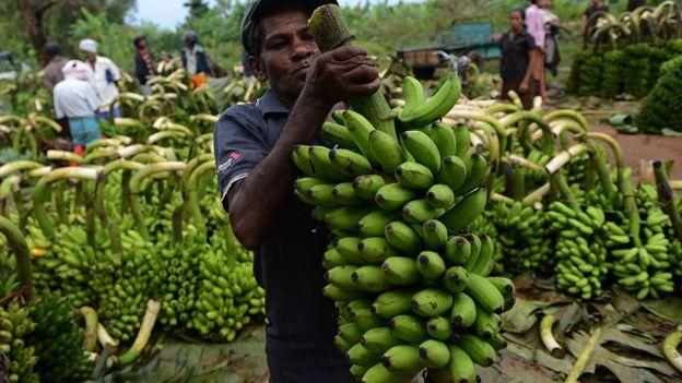 Una nueva enfermedad podría destruir la producción mundial de bananas, como ya sucedió en los añ...