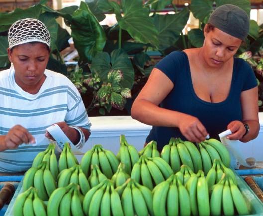 Dominica presenta una nueva variedad de banana