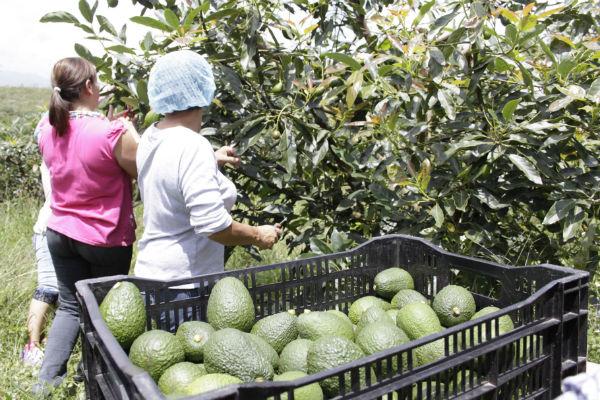 Colombia: exportación de aguacate Hass crece más de 266%