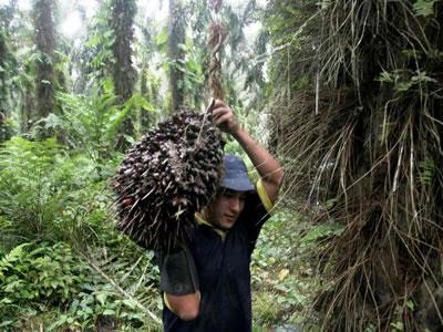 Agricultores de Tocache dejan atrás un panorama incierto y desarrollan una fuerte industria de palm...