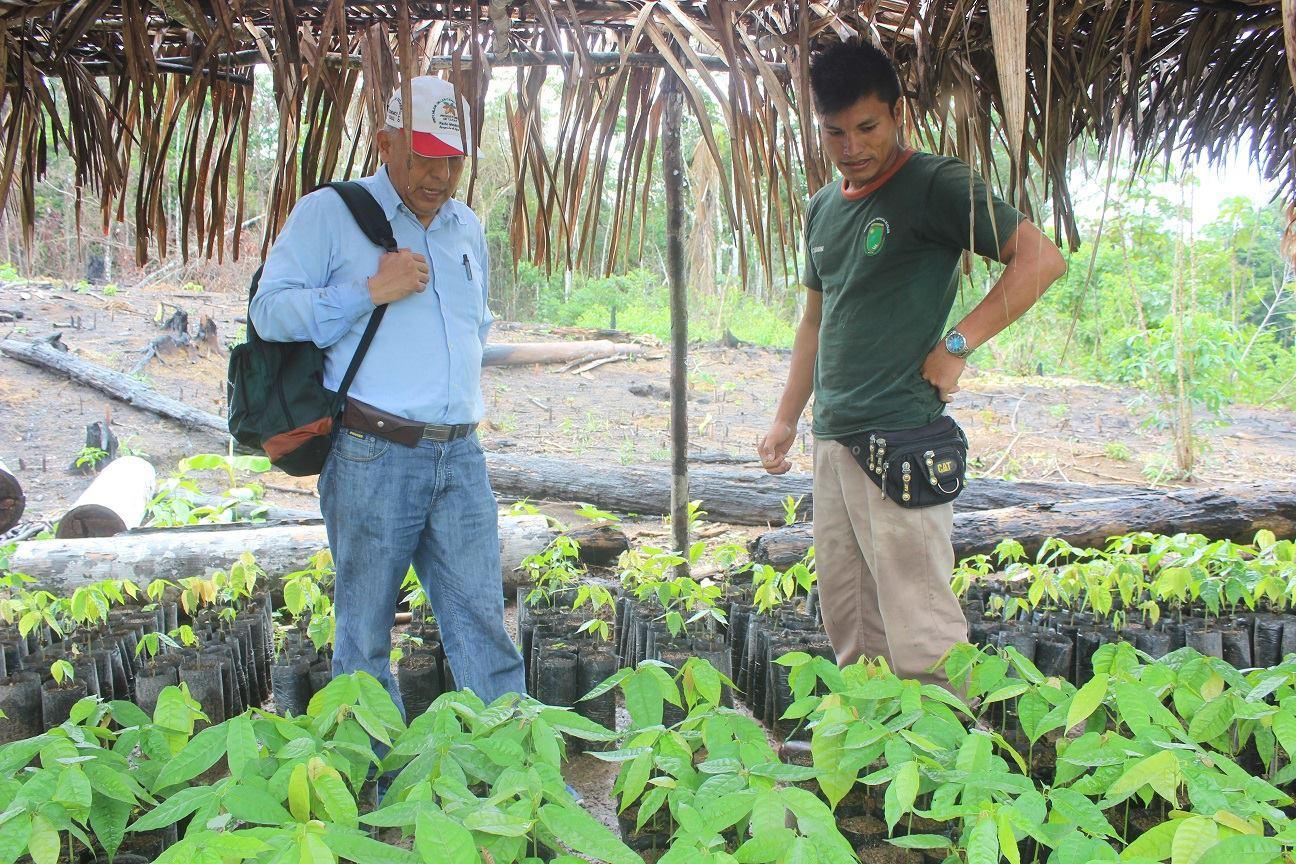 Avanzan trabajos de proyecto cacao en todos los sectores de Atalaya