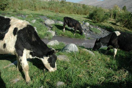 Puno puede convertirse en la primera potencia peruana de leche y carne