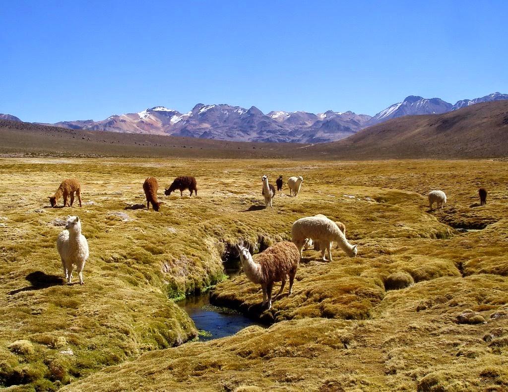 DRA Tacna comprará forrajes para camélidos sudamericanos