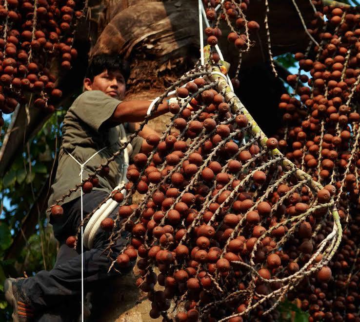 Cinco comunidades nativas de Loreto mejorarán sus ingresos con la producción de aguaje
