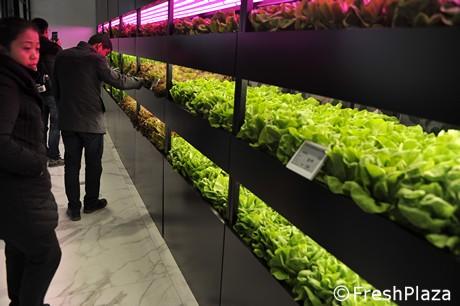 Supermercado chino vende al público lechugas listas para cosechar